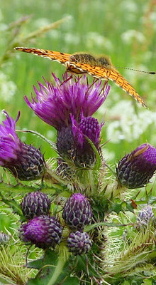 butterfly_and_thistle-photos_rob-roy_way.jpg